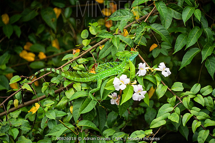 Double-Crested basilisk (Basiliscus plumifrons) on flowers, Costa Rica.