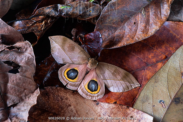 Saturnid moth (Automeris zugana) eye spots displayed following threat. Costa Rica. Sequence 2 of 2