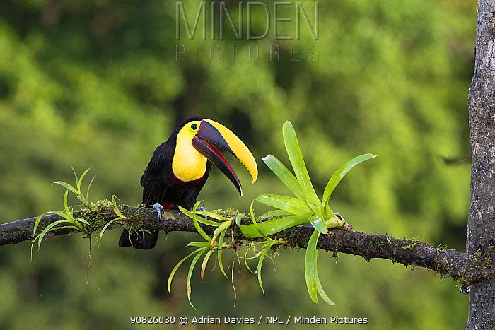 Black mandibled toucan (Ramphastos ambiguus) Costa Rica.