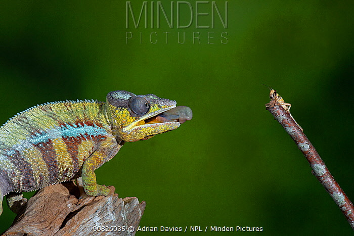 Panther chameleon (Furcifer pardalis) catching locust with tongue. Controlled conditions. Sequence 1 of 4