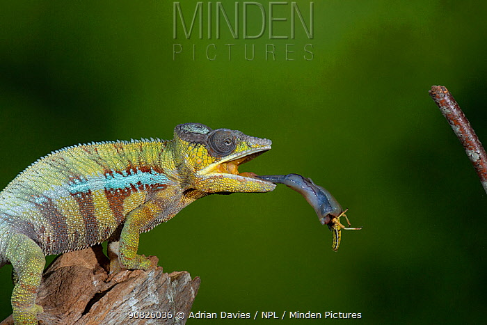 Panther chameleon (Furcifer pardalis) catching locust with tongue. Controlled conditions. Sequence 3 of 4.
