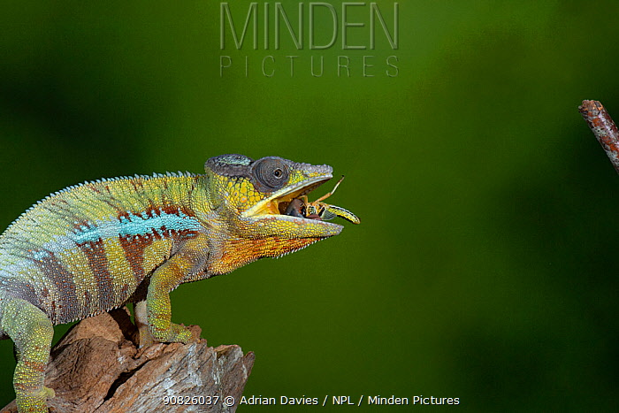 Panther chameleon (Furcifer pardalis) catching locust with tongue. High speed.Controlled. Sequence 4 of 4