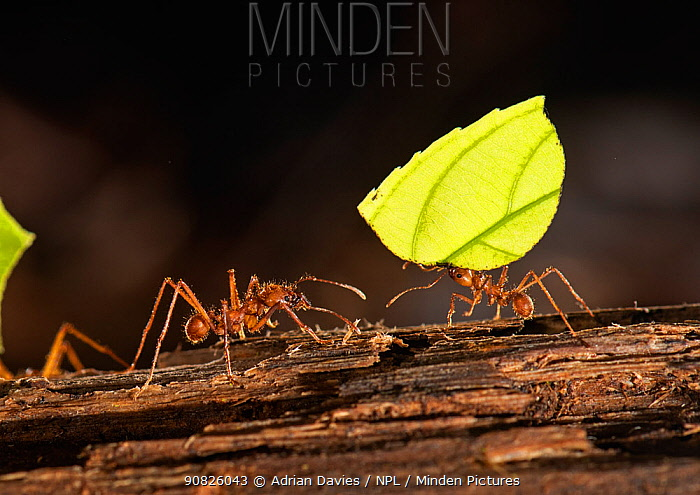Leafcutter ant (Atta cephalotes) carrying leaf section to nest. Costa Rica.
