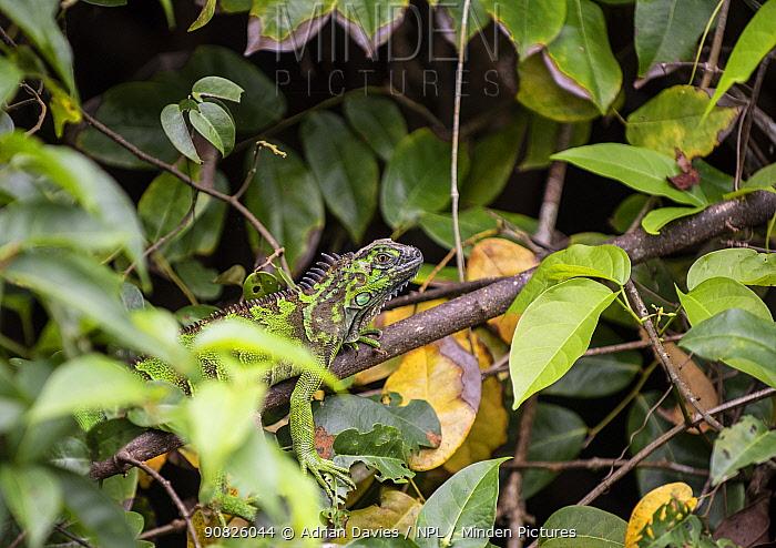 Green Iguana (Iguana iguana) among foliage, Costa Rica.