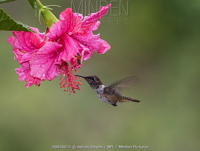 Volcano hummingbird (Selasphorus flammula) feeding from flower, Costa Rica.