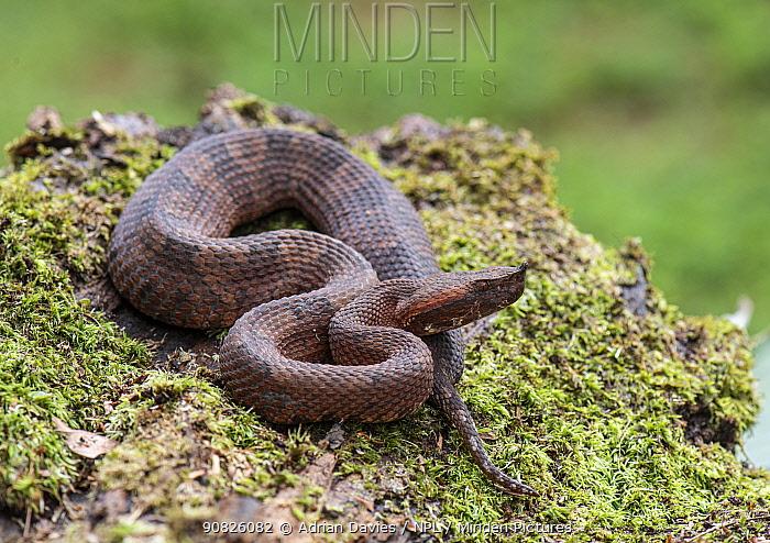 Hognosed pit viper (Porthidium nasutum) Costa Rica