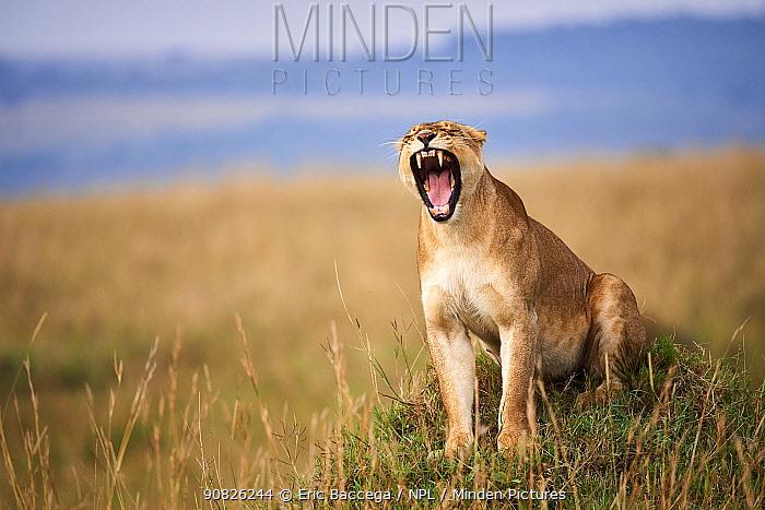 Lioness (Panthera leo) yawning in savanna. Masai Mara National Reserve, Kenya.