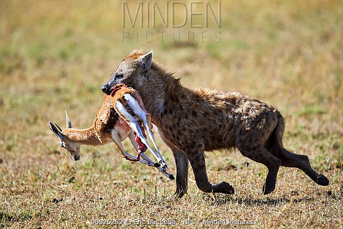 Spotted hyaena (Crocuta crocuta) running away with Thomson's gazelle prey (Eudorcas thomsonii). Masai Mara National Reserve, Kenya.
