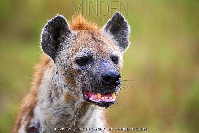 Spotted Hyena (Crocuta crocuta) portrait. Masai Mara National Reserve, Kenya.