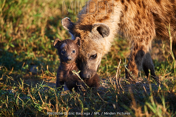 Spotted hyena (Crocuta crocuta) mother with 2/3 weeks cub near den. Masai Mara National Reserve, Kenya.