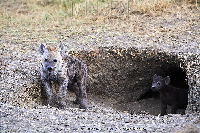 Spotted hyaena (Crocuta crocuta) cubs at den entrance. Masai Mara National Reserve, Kenya.