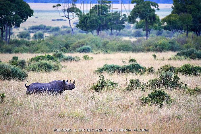 Aerial view of Black rhinoceros (Diceros bicornis) walking in savanna. Masai Mara National Reserve, Kenya.