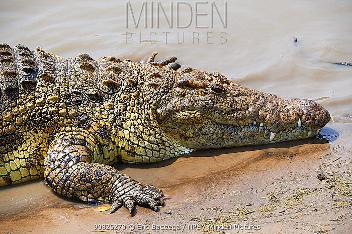 Nile crocodile (Crocodylus niloticus) portrait. Masai Mara National Reserve, Kenya.