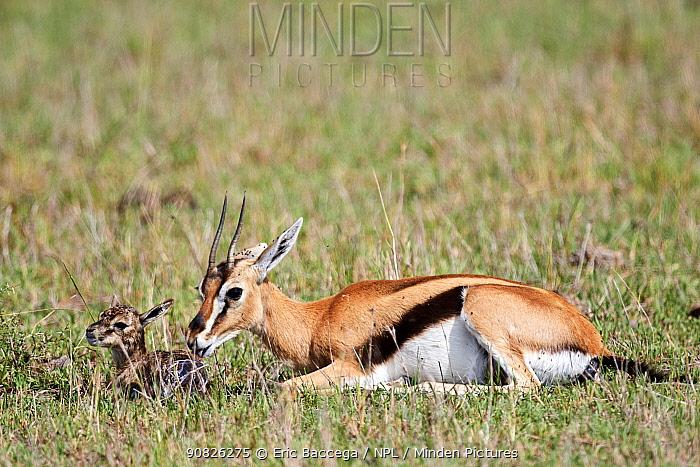 Thomson's gazelle (Eudorcas thomsonii) mother pulling birth sac off newborn baby. Masai Mara National Reserve, Kenya. Sequence 3 of 7.