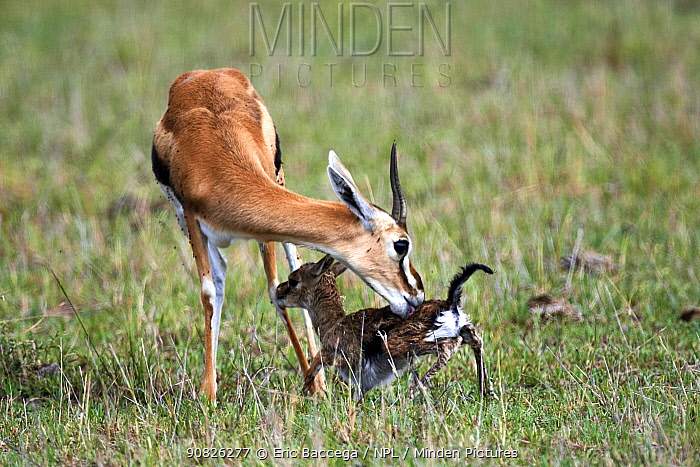 Thomson's gazelle (Eudorcas thomsonii) mother licking newborn baby. Masai Mara National Reserve, Kenya. Sequence 5 of 7.
