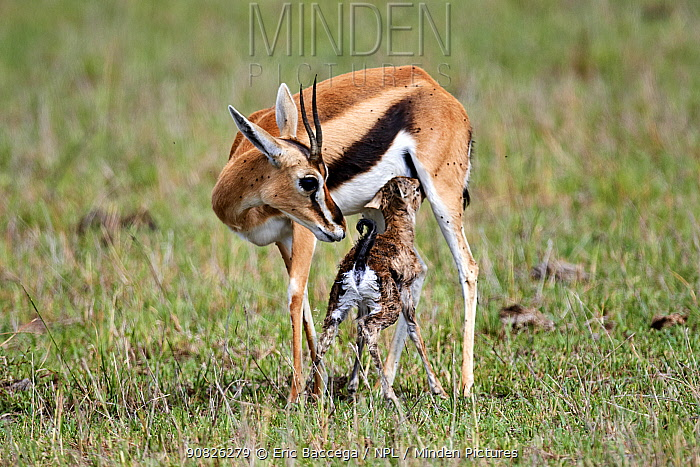 Thomson's gazelle (Eudorcas thomsonii) nursing a newborn calf. Masai Mara National Reserve, Kenya. Sequence 6of 7.