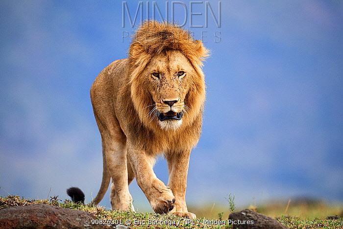 Lion (Panthera leo) male walking. Masai Mara National Reserve, Kenya.