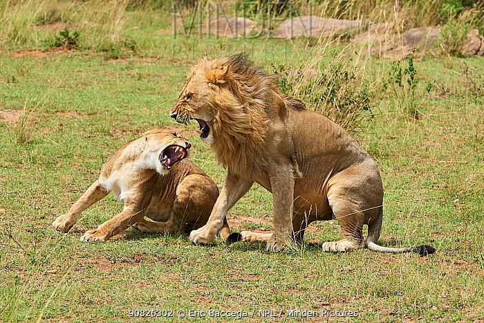 Lioness (Panthera leo) snarling at male after mating, Masai Mara National Reserve, Kenya.