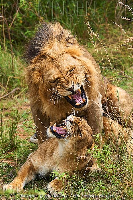 Lions (Panthera leo) mating, Masai Mara National Reserve, Kenya.