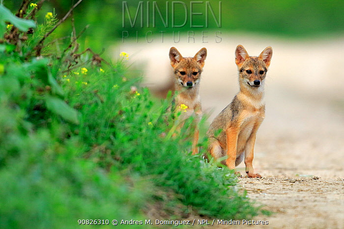 Two Golden jackal (Canis aureus) pups sitting on a path by a grassy verge, Danube Delta, Romania, July.