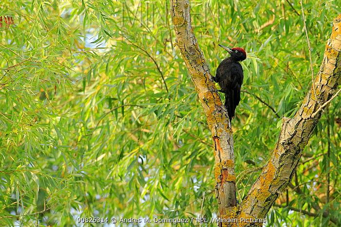 Black woodpecker (Dryocopus martius) Danube Delta, Romania. July
