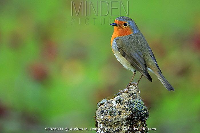 European Robin (Erithacus rubecula) portrait, Grazalema, southern Spain, December