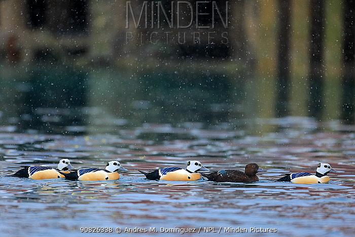 Steller's eider duck (Polysticta stelleri) four males and one female, Batsfjord, Norway. March