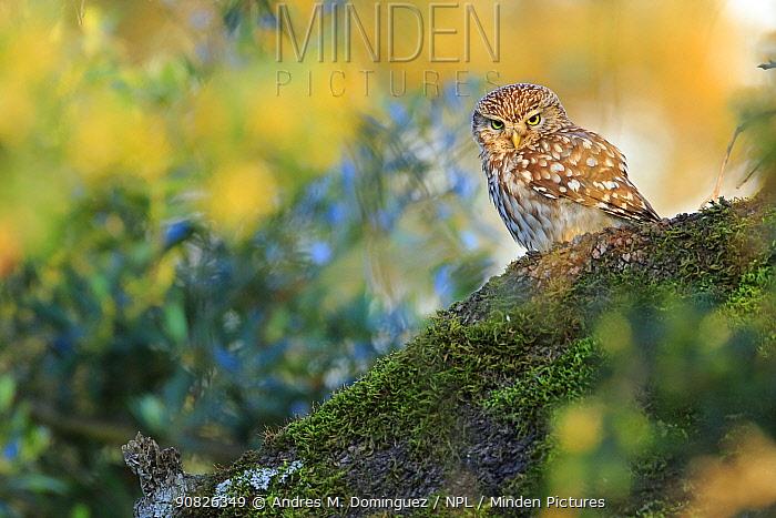 Little owl (Athene noctua), Cadiz, Andalusia, Spain, April