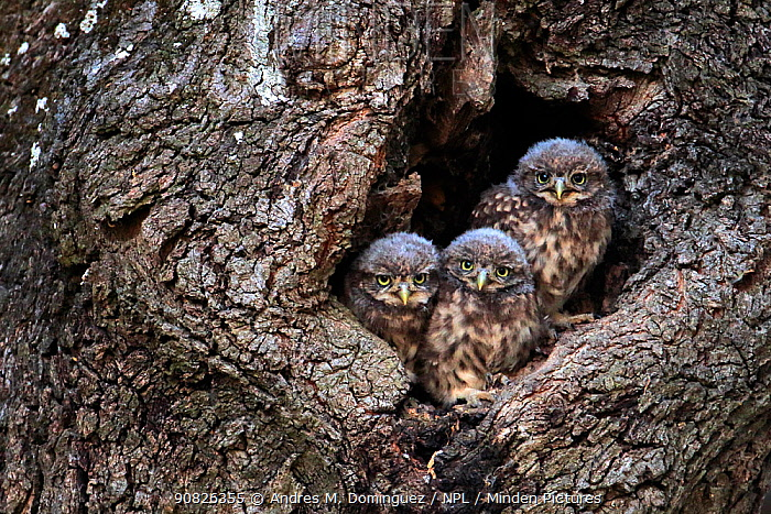 Little owl (Athene noctua) chicks in nest hole, Arcos de la Frontera, southern Spain. June.
