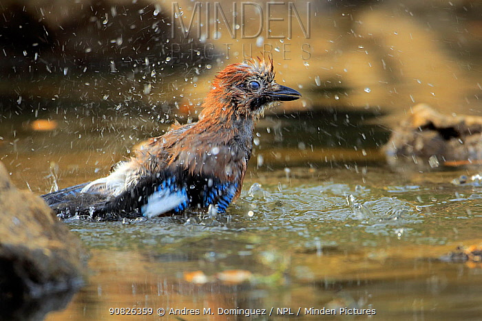 Eurasian Jay (Garrulus glandarius) bathing, Grazalema, southern Spain, July.