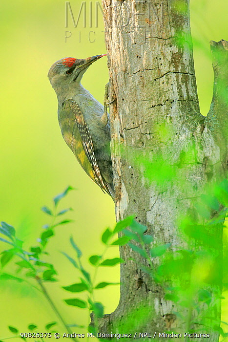Grey-headed woodpecker (Picus canus) feeding at holes in Populus sp tree , Danube Delta, Romania. July.