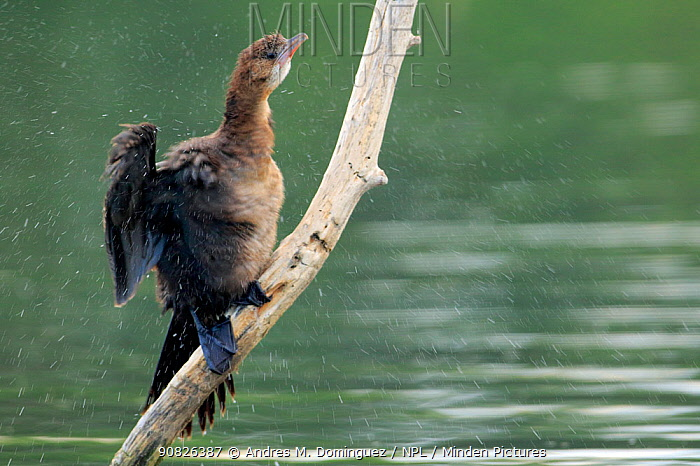 Pygmy cormorant (Microcarbo pygmaeus) shaking off water from its feathers, Danube Delta, Romania. July.