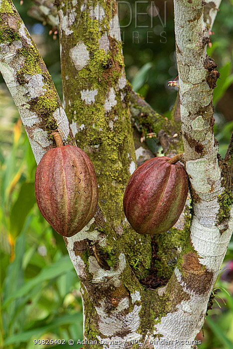 Cacao / Cocoa Tree (Theobroma cacao) with seed pods, Costa Rica.