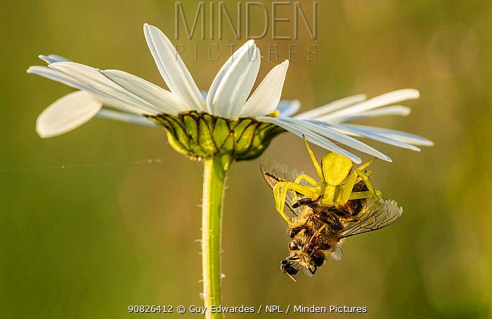 Goldenrod crab spider (Misumena vatia), feeding on bee on oxeye daisy, Hardington Moor NNR, Somerset, England, UK, June.