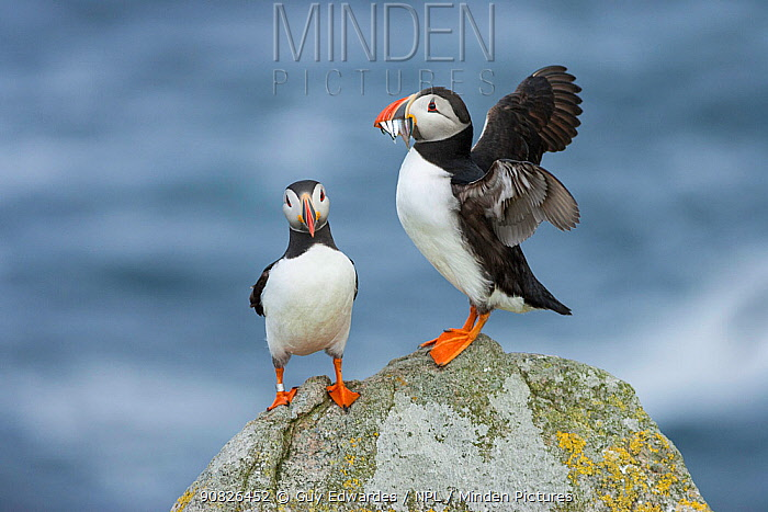 Puffin (Fratercula arctica) with beak filled with fish, Isle of May, Firth of Forth, Fife, Scotland