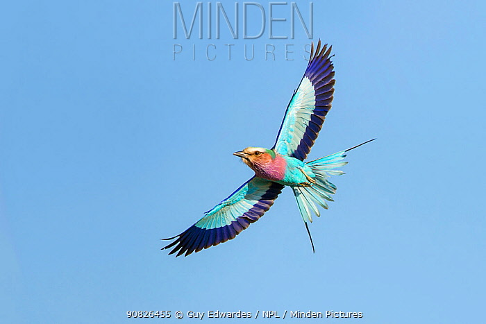 Lilac-breasted Roller (Coracias caudata) in flight with blue sky, Kruger National Park, South African National Park, Africa.