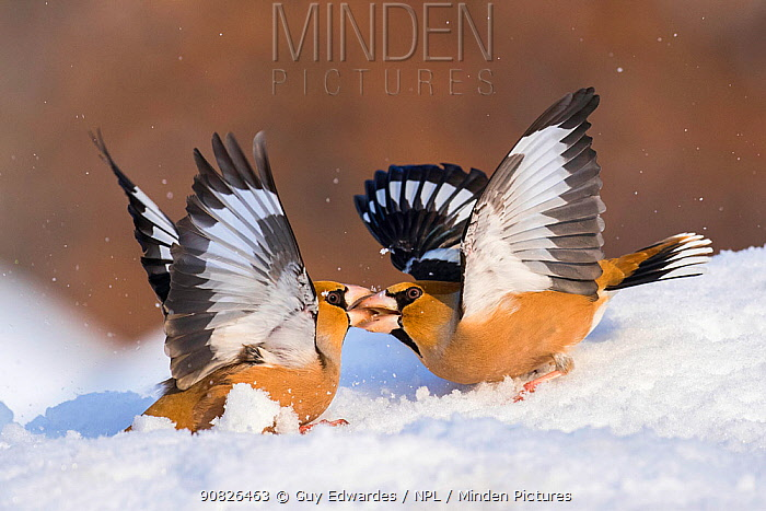 Hawfinch (Coccothraustes coccothraustes) fighting in snow, Bulgaria