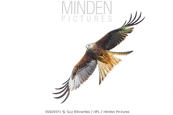 Red Kite (Milvus milvus) in flight, Rhayader, Wales, UK. June.