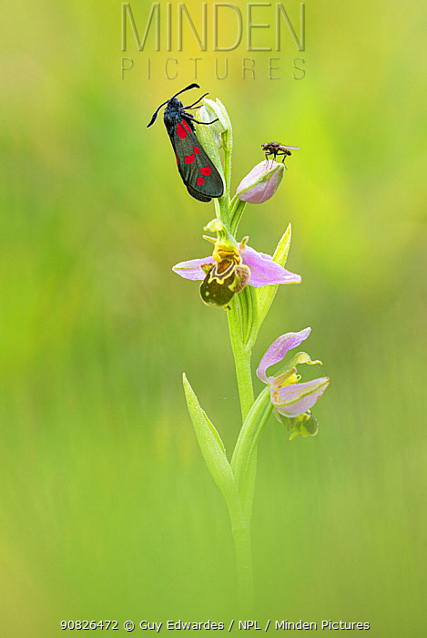 Bee Orchid (Ophrys apifera) and Five-spot burnet (Zygaena trifolii), Powerstock Common, Dorset, England, UK, June.