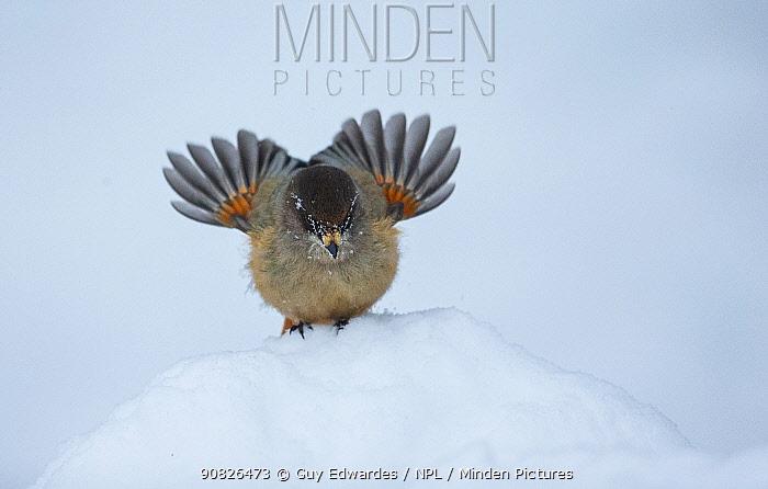 Siberian Jay (Perisoreus infaustus), Kuusamo, Finland, January.