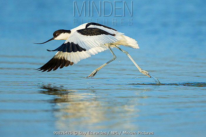 Avocet (Recurvirostra avosetta) taking off, running across water, Texel The Netherlands, April.