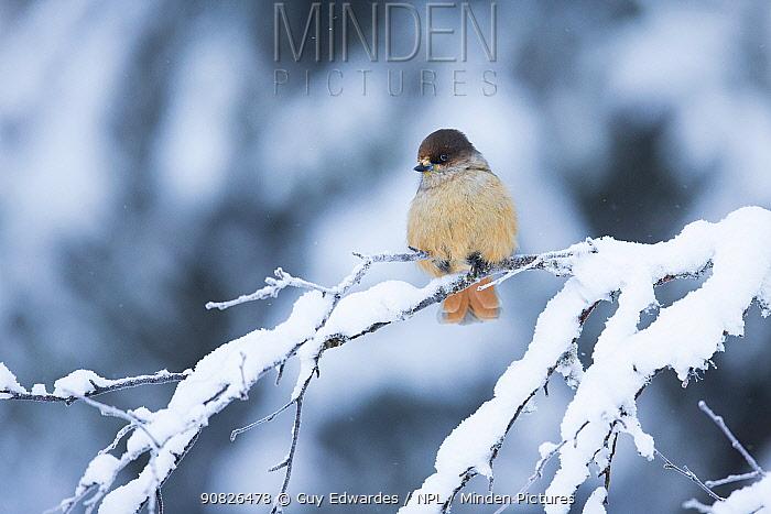 Siberian Jay (Perisoreus infaustus) perched on snowy branch, Kuusamo, Finland
