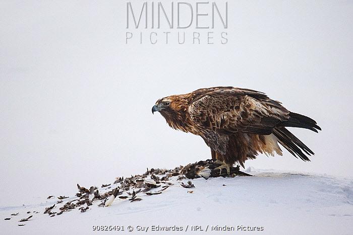 Golden eagle (Aquila chrysaetos) feeding on grouse,Oulanka National Park, Kuusamo, Finland, January.