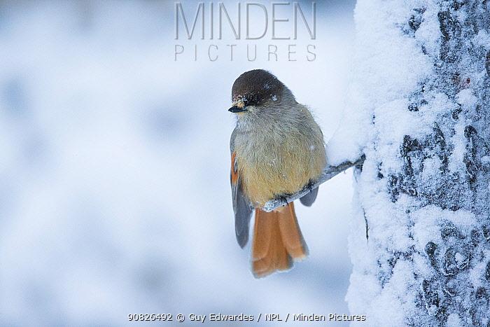 Siberian Jay (Perisoreus infaustus), perched on twig, Kuusamo, Finland, January.