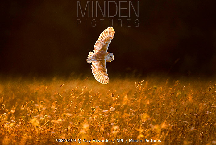 Barn Owl (Tyto alba) in flight, Hawk Conservancy Trust, England, UK, July. Captive.