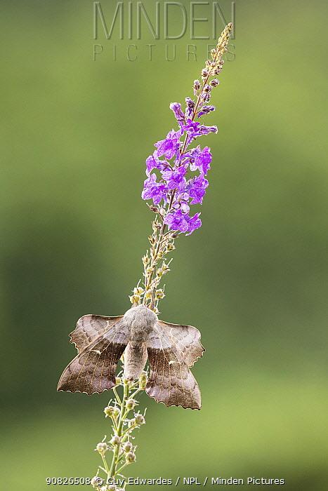 Poplar hawk moth (Laothoe populi), Devon, England, UK