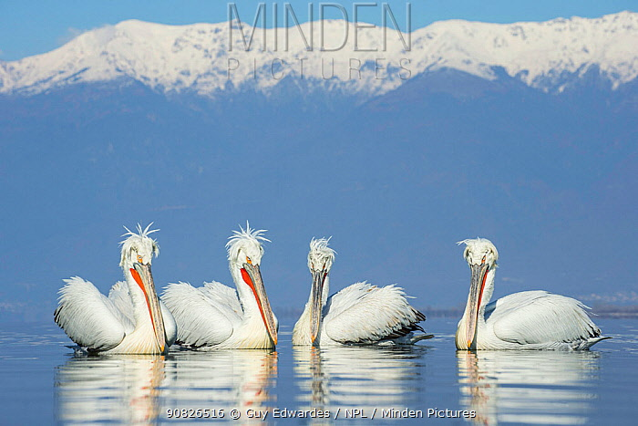 Dalmatian pelicans (Pelecanus crispus) group, Lake Kerkini, Greece