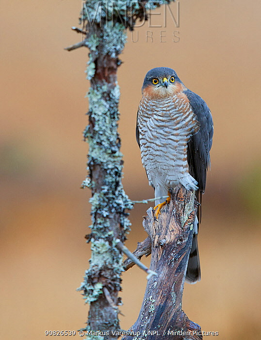 Sparrowhawk (Accipiter nisus) perched on snag, Norway, October.