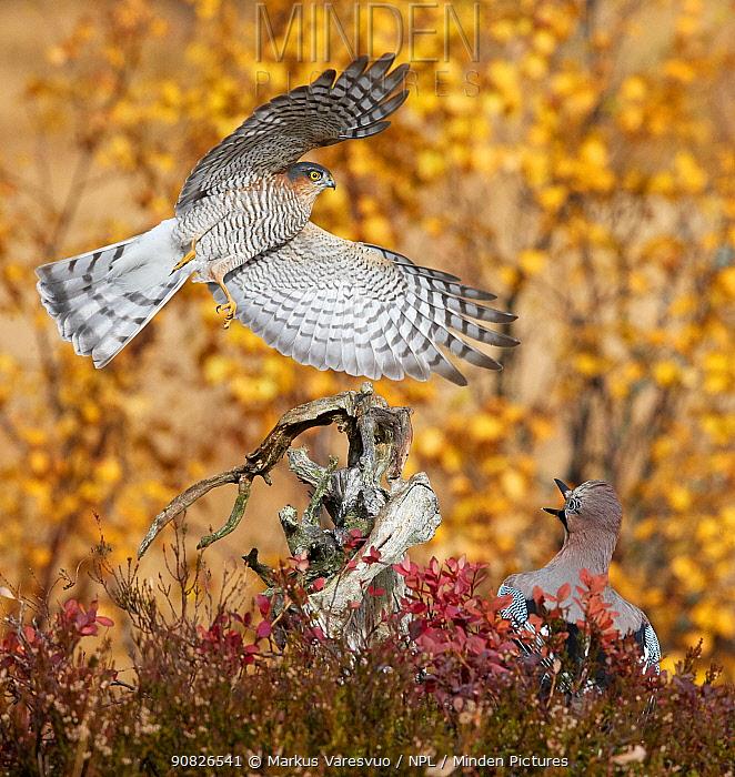 Sparrowhawk (Accipiter nisus) chasing a Jay (Garrulus glandarius) Norway, October.