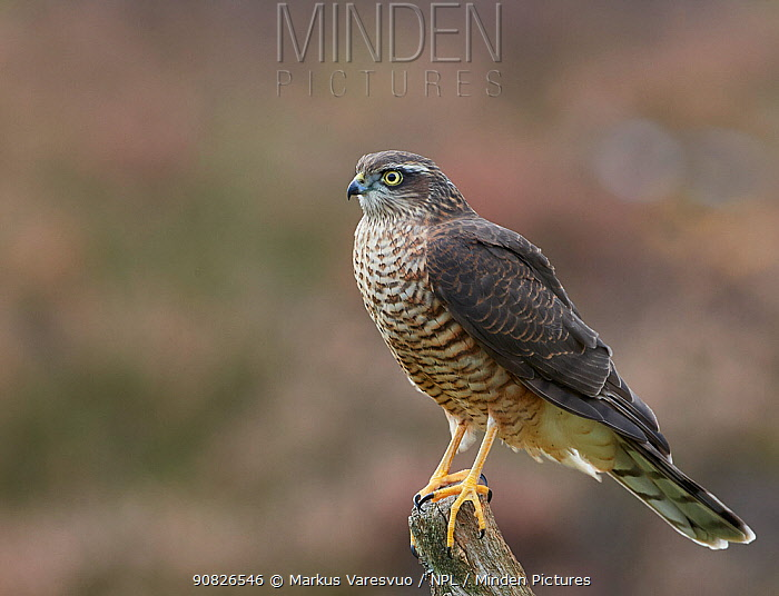 Sparrowhawk (Accipiter nisus) juvenile, Norway, October.